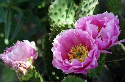 Web-IMG_0672-Pink Desert Rose II-Santa Fe, New Mexico