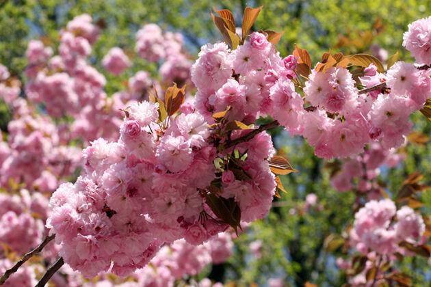 *IMG_1279-'Enchanted Cherry'-Springfield, New Jersey