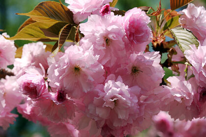 IMG_1290-Cherry Cotton Candy-Springfield, New Jersey