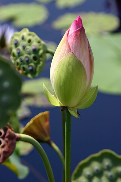 Double Rose Lotus 'Rosea Plena'_The New York Botanical Garden