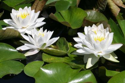 Web-IMG_9632C2-2019_'Nymphaea Gladstoniana'-The New York Botanical Garden