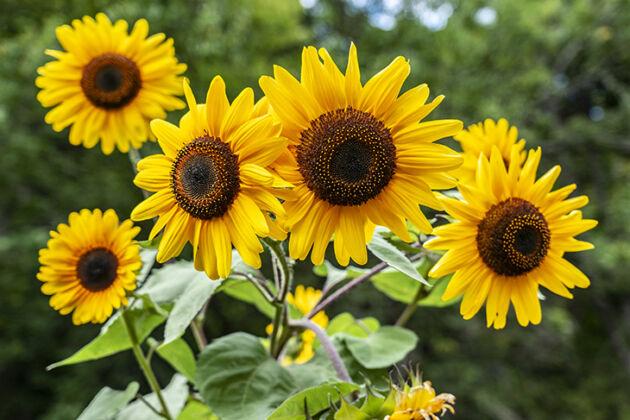 'Golden Powers Sunflowers' I-Rosendale, NY
