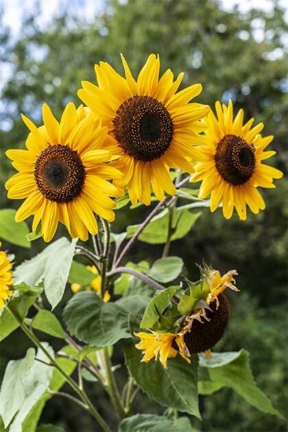 Web-DSC04972C-'Golden Powers Sunflowers' II-Rosendale, NY