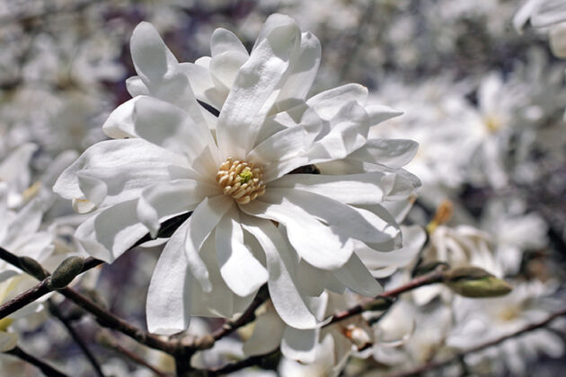 IMG_0724C-Spring Snow Star Magnolia-Central Park, New York City