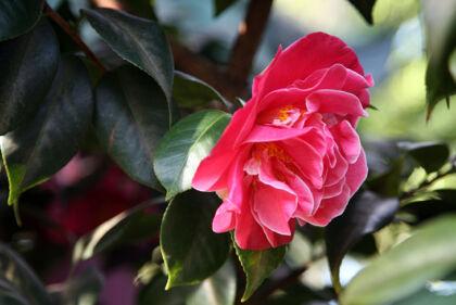 camellia-japonica- tiffany-the new york botanical-garden