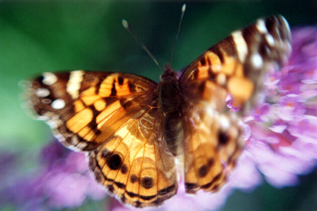 painted-butterfly
